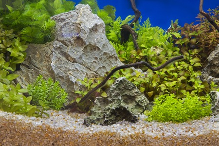 A green beautiful planted tropical freshwater aquarium Banque d'images