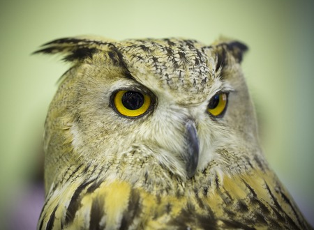 black feathered: Great Horned Owl staring with golden eyes Stock Photo