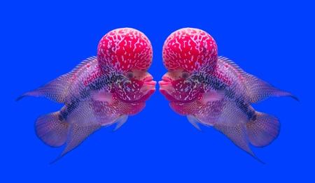 peacock cichlid: Flowerhorn Cichlid fish Stock Photo