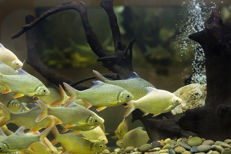 biotype: Fish in the aquarium Stock Photo