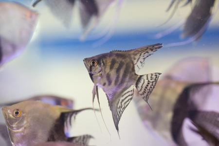 pterophyllum scalare: Angel Fish