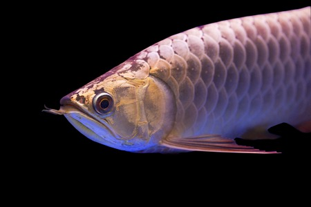 egglayer: Arowana fish Stock Photo