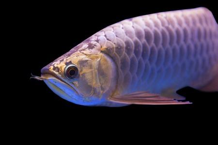 hobbyist: Arowana fish Stock Photo