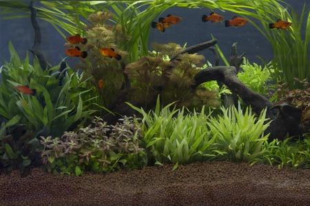 aquarium eau douce: Un beau vert aquarium plant� d'eau douce tropicale Banque d'images