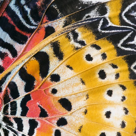 close up image: Macro close up of an Monarch Butterfly Wing