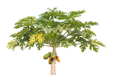 papaya tree: The papaya tree with fruits.