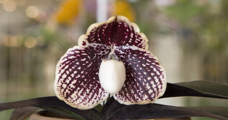 lady slipper: Lady Slipper Orchid Paphiopedilum.
