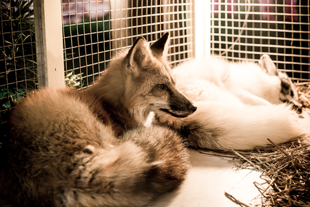 Foxes in the cage