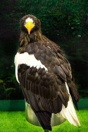 Portrait of a Golden Eagle Aquila chrysaetos Stock Photo