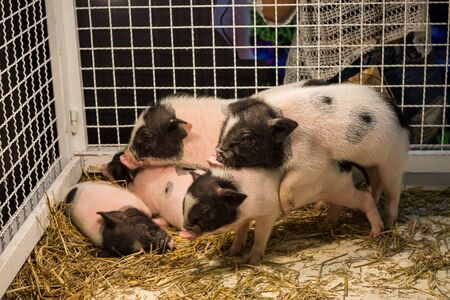 grunter: dwarf hog in the cage Stock Photo