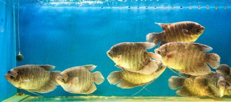 cyphotilapia: Aquarium fish