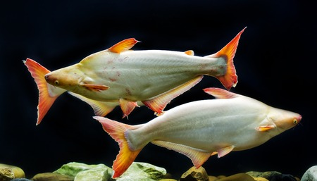 Tropical fish that iridescent shark