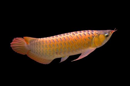 Red Arowana the Asian dragon fish
