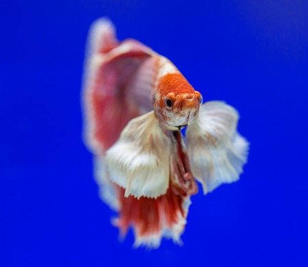 dragon swim: Betta fish, siamese fighting fish, betta splendens
