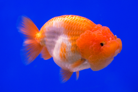 Ranchu Lion Head goldfish in fish tank.
