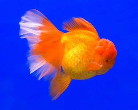 Gold fish in aquarium tank