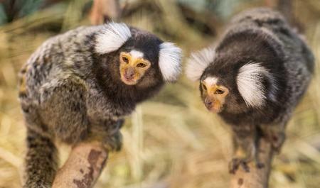 studio zoo: Common Marmoset.