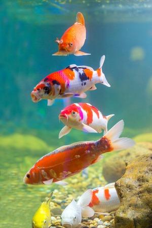 Carp in the aquarium