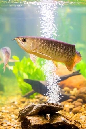 Arowana the Asian dragon fish