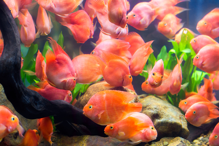 Group of red parrot cichlid