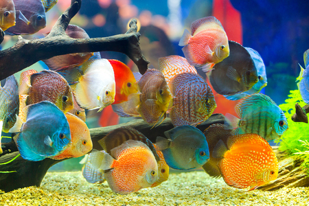 freshwater aquarium plants: Discus (Symphysodon), multi-colored cichlids in the aquarium