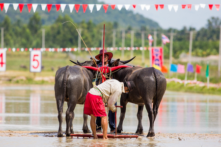 Buffalo running the traditional activities on August 30, 2560 Chonburi. Editorial