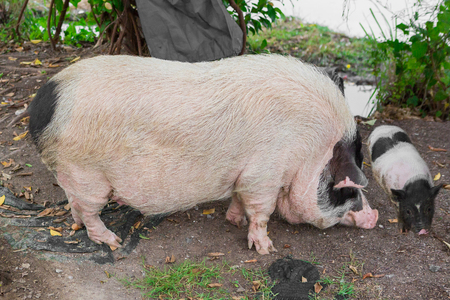 Pig and Piglet for food