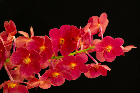 Red orchids on a white background.