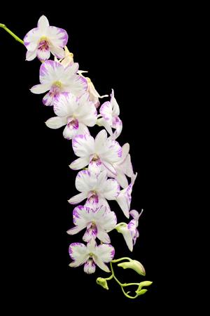 White orchid on black background Stock Photo