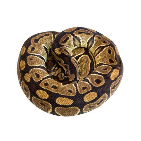 Royal or Ball Python snake Stock Photo