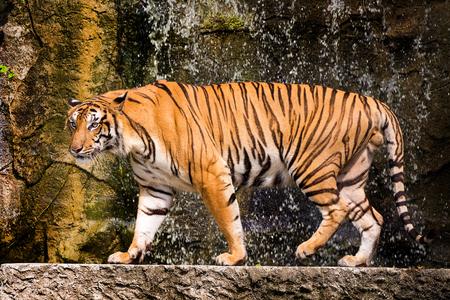 Tigre de Bengala de pie con arbustos de bambú en segundo plano.