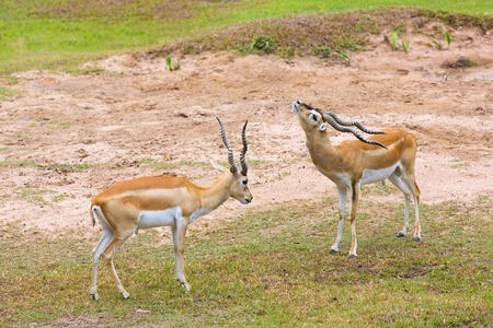 Strong young deers with  in the fight.