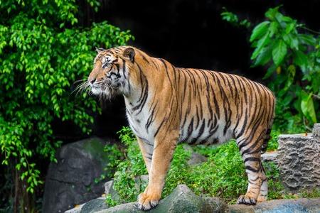Tigre de Bengala duerme limpio
