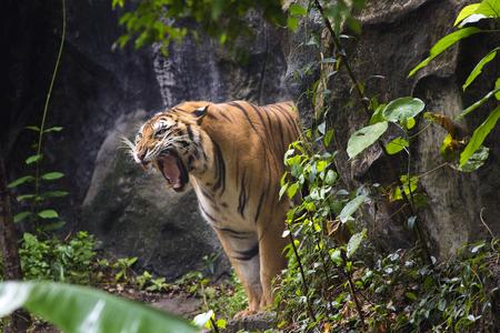 Tygrys bengalski śpi czysty