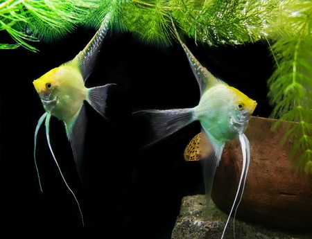 Angel fish and green algae