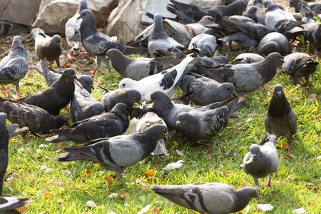 Many pigeons eating food on floor in park.
