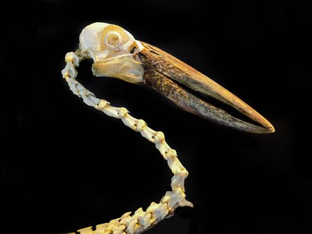 The skeleton of a bird can be separated on the back.