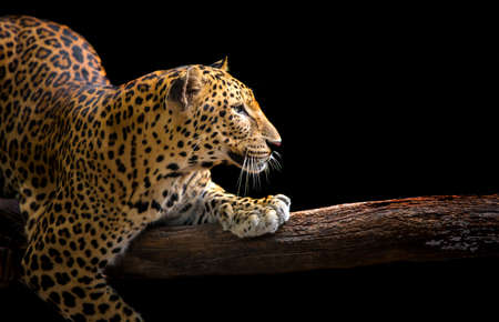 The leopard roars and sees fangs preparing to fight or defend. Stock fotó
