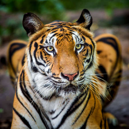 The tiger roars and sees fangs preparing to fight or defend.