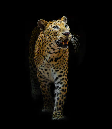 Leopard in the forest on a black background.