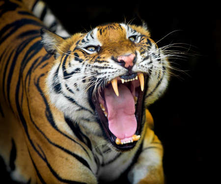 The tiger roars and sees fangs preparing to fight or defend. 版權商用圖片