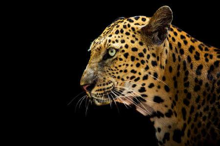 The leopard looks beautiful on a black background. Reklamní fotografie