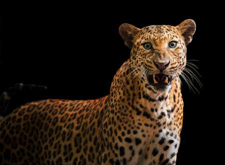 A roaring leopard looks fierce on a black background.
