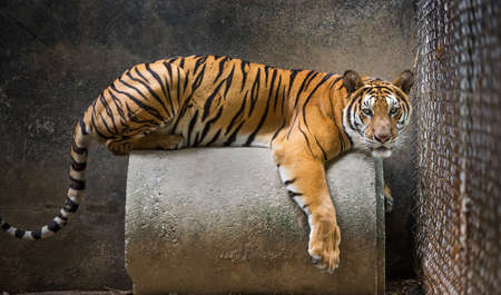 Tiger lying in a cage on display in the zoo. 版權商用圖片