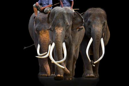 Beautiful elephant tusks are walking in the zoo. Reklamní fotografie