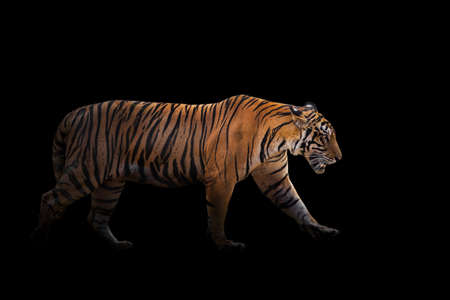 A tiger in a forest on a black background shows in the zoo.