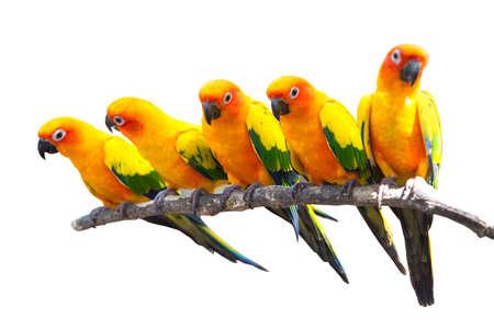 Five sun conure parrots perched on a white background. Foto de archivo