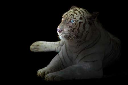 White bengal tiger gaze on black background
