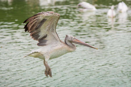 Pelican flying in zoo on pond background