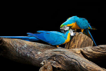 Blue macaws are playing on the wood. Stock Photo